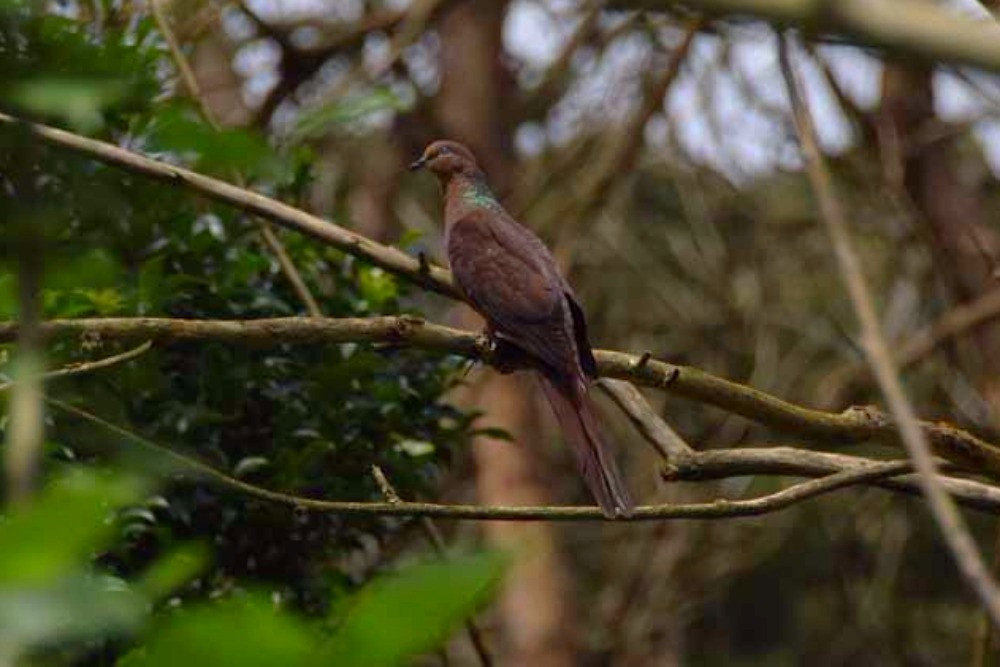 The beautiful brown cuckoo-dove