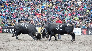 Finale Nationale de la Race d'Hérens vaches combats de reines