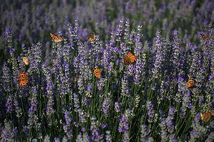 lavender-4280725_1920.jpg