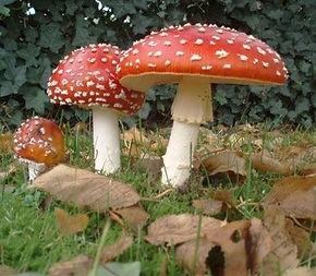 Отруєння грибами