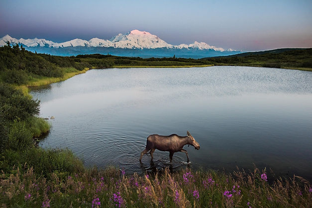 Alaska Moose in a lake.jpg