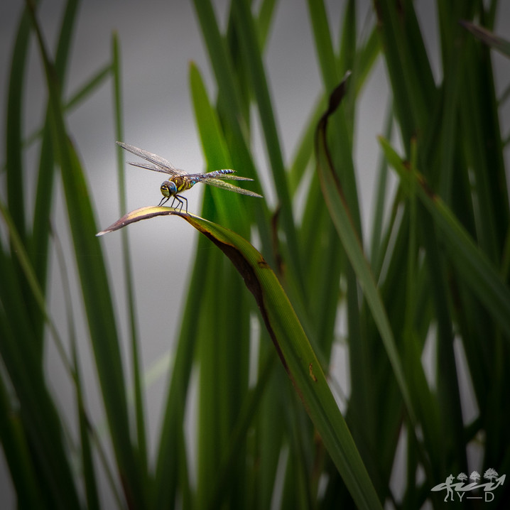 Dragonfly, wallophoto 2018