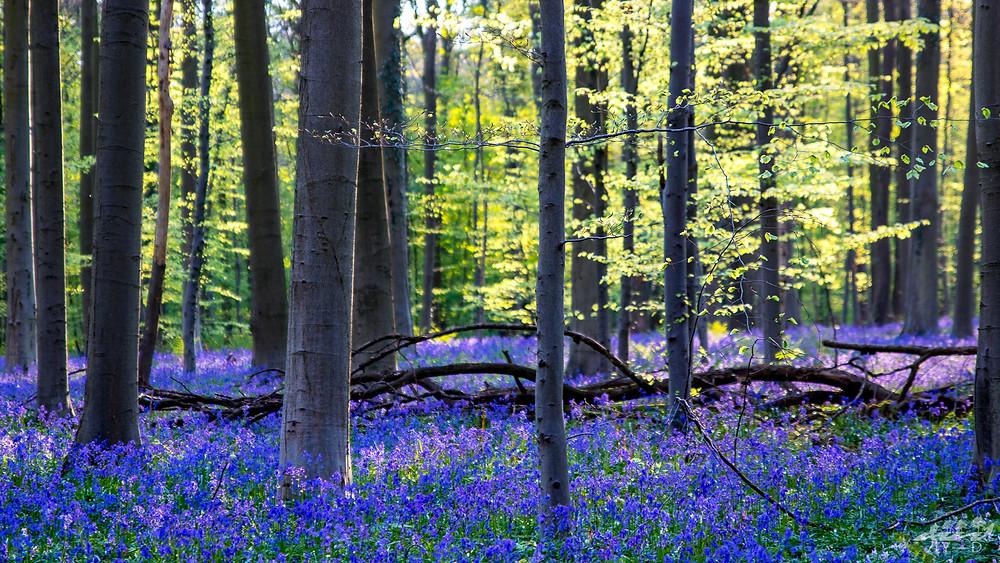 Jacinthes bleues, bois de hal, hallerbos, wallophoto