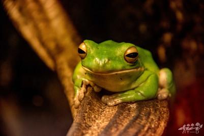 Green frog, wallophoto 2018
