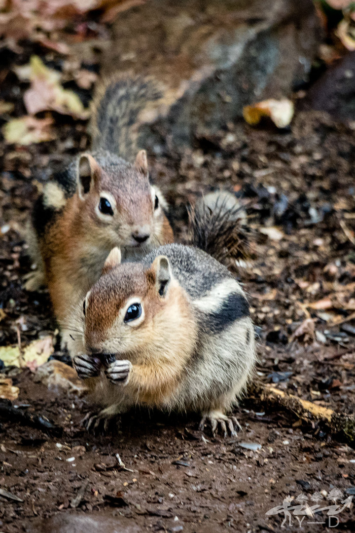 Ouray, Chipmunks
