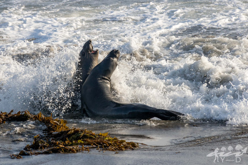 Elephant seals, Cambria