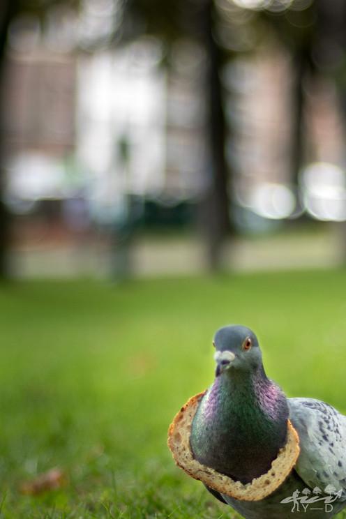 Pigeon gourmand, wallophoto 2018