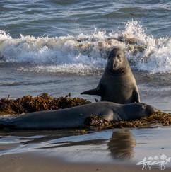 Cambria, Elephant seals vista point