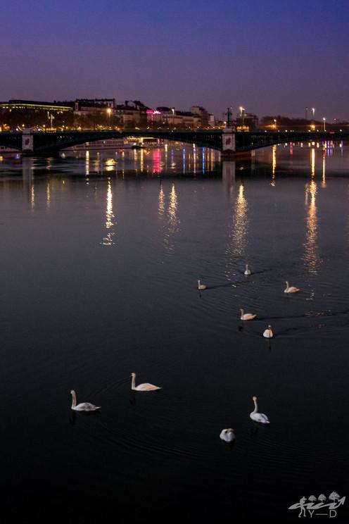 Cygnes sur le Rhône au lever du soleil, Lyon, Wallophoto