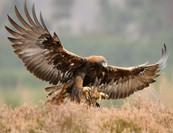 Golden Eagles in Snowdonia