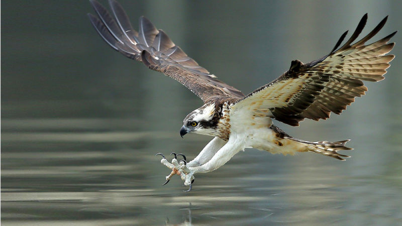Ospreys-Recovery-From-Pollution-And-Shoo