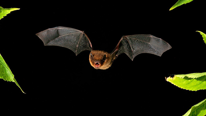 soprano-pipistrelle-bat-flying-night-bar