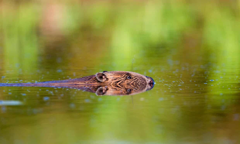 Beavers are coming back to the UK!