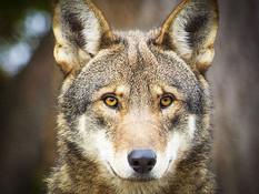 redwolf-2.jpg