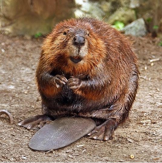 American_Beaver.jpg