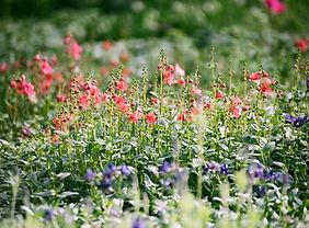 Fleurs sauvages pour tisanes bio