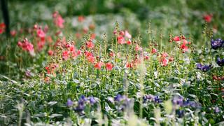 SF24 Flower Field