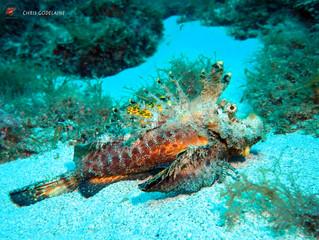 Filament Devilfish