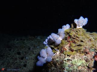 Soft Coral Xenia