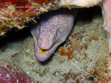 Yellow Mouth Moray / Murène à Gueule Jaune
