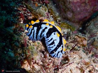 Sea Slug Phyllidia Varicosa