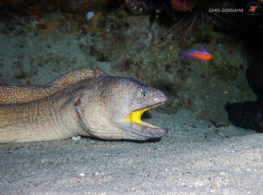 Starry Moray / Yellowmouth Moray