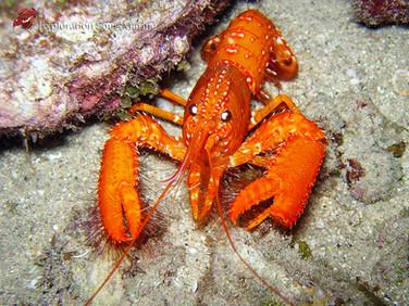 Norway Lobster / Langoustine