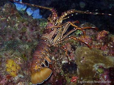 Lobster / Langouste