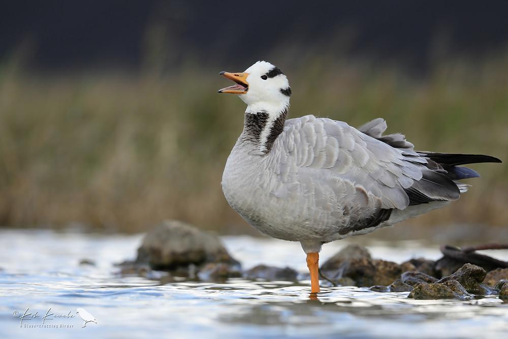 Bar-headed Goose / インドガン