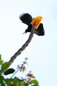 Twelve-wired Bird-of-paradise