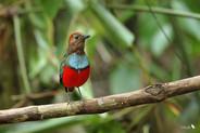North Moluccan Pitta
