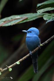 Blue Paradise-flycatcher