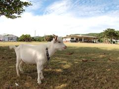 与那国島のヤギ