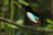 Ivory-breasted_Pitta