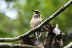 New_Caledonian_Friarbird