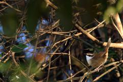 New Caledonian Grassbird
