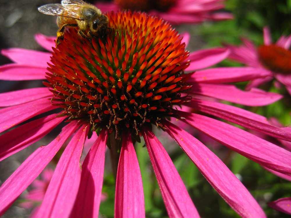 Echinacea and other deep-rooted, native prairie plants are a great resource through a summer dearth
