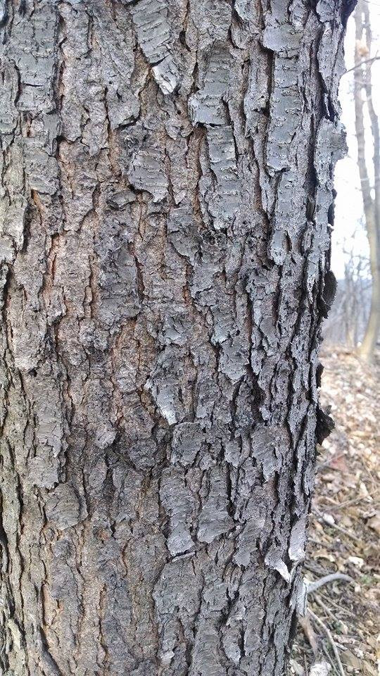 The bark of a mature black cherry, (Prunus serotina)