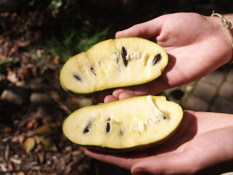 A cross section of a paw paw fruit.  Once cut in half, they can be quartered.  Seeds are inedible.