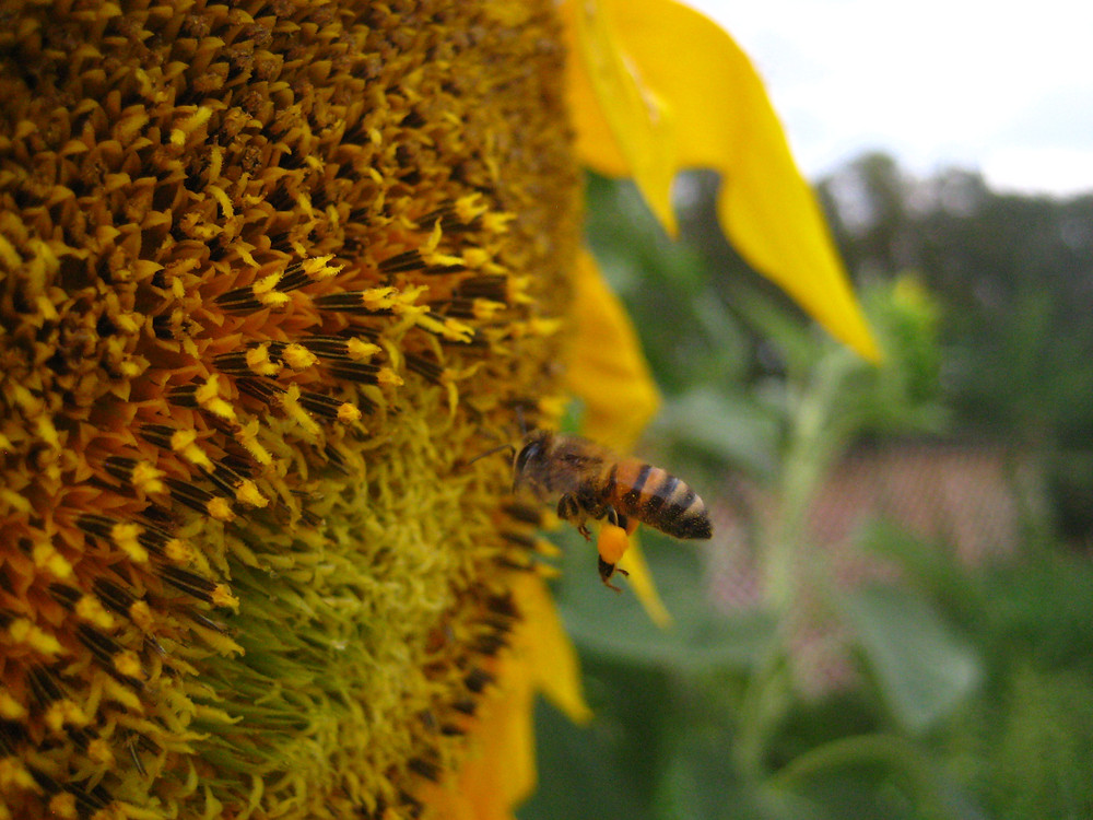 One of OEP's honey bees gathering pollen from the sunflowers we cultivate. Sunflowers are perhaps the easiest flower to grow in support of our pollinators through the dearth.