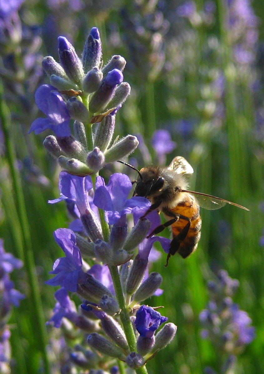 Lavender is one of many drought tolerant species that still produces nectar through a dearth.