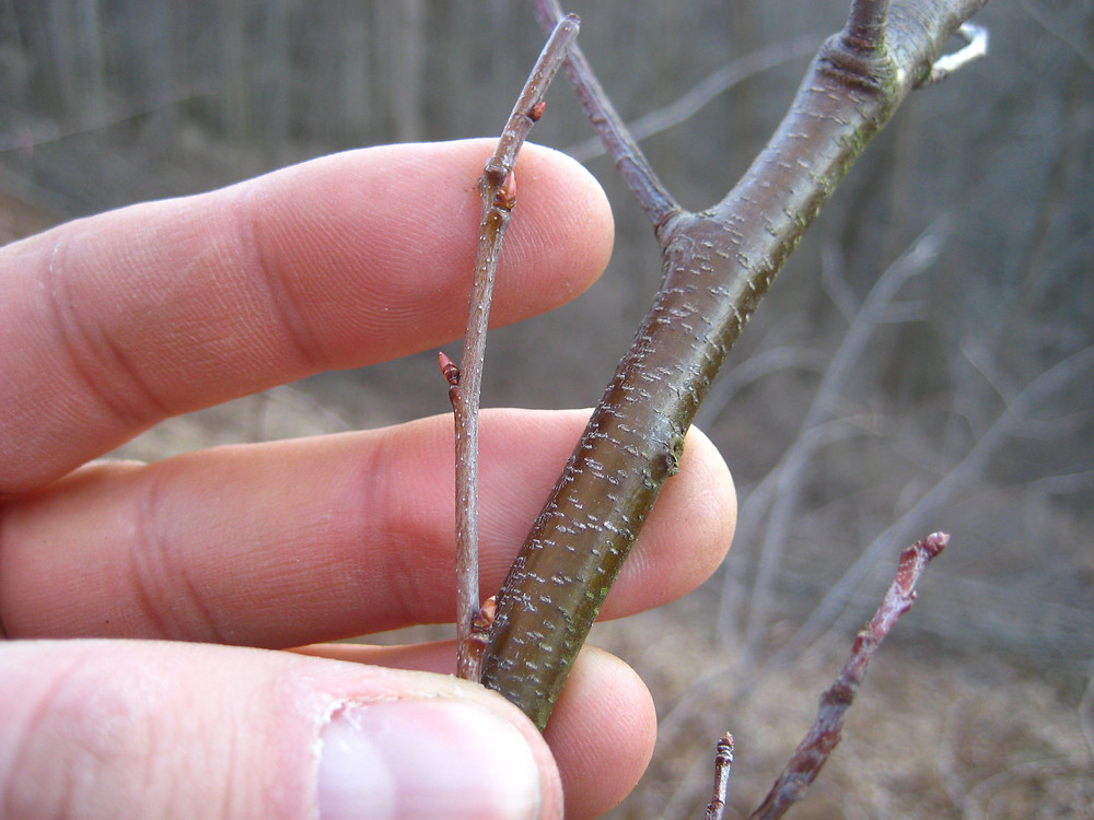 "Black cherry twigs showing ""alternate"" bud placement"