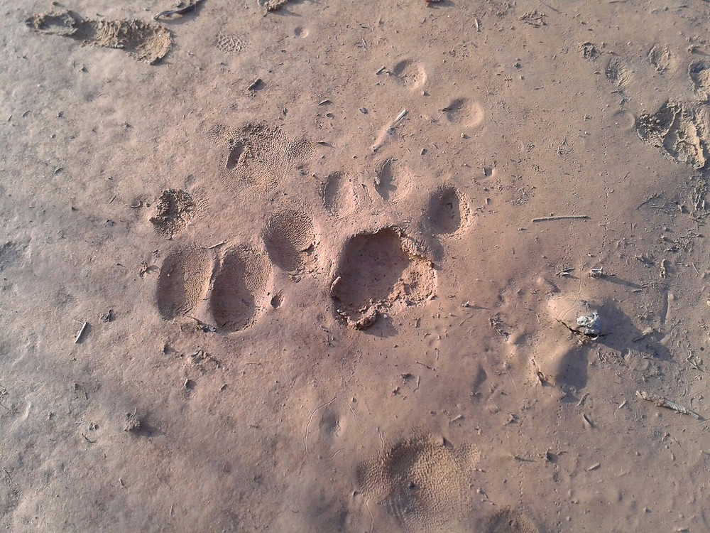 Bobcat tracks at a meadow waterhole