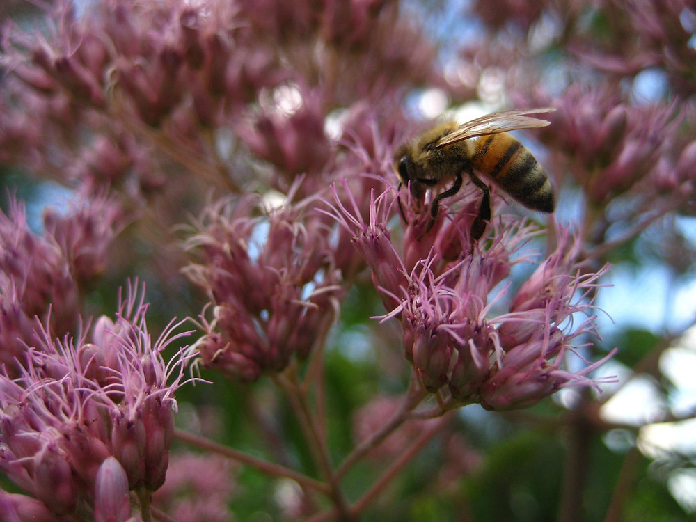 One of OEP's Honey Bees foraging on Joe Pye weed, a native wildflower crucial to bees and other pollinators during the summer dearth.