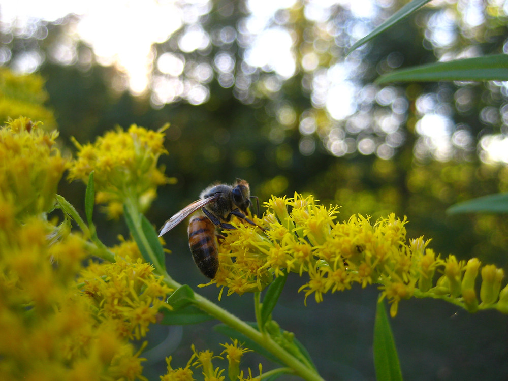 One of OEP's honey bees foraging on goldenrod, a fall-blooming native wildflower crucial to a hive's winter honey storage