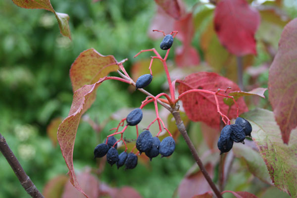Black haw berries and fall color