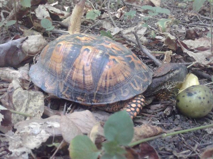 We weren't the only ones on the hunt today.  This eastern box turtle was already here, chowing down!