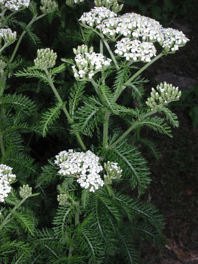 Aromatic plants, such as this yarrow (Achillea millefolium), can be rubbed on the body to mask human scent while tracking an animal.  Old earth woodsmen don't need store-bought products to hide their scent.
