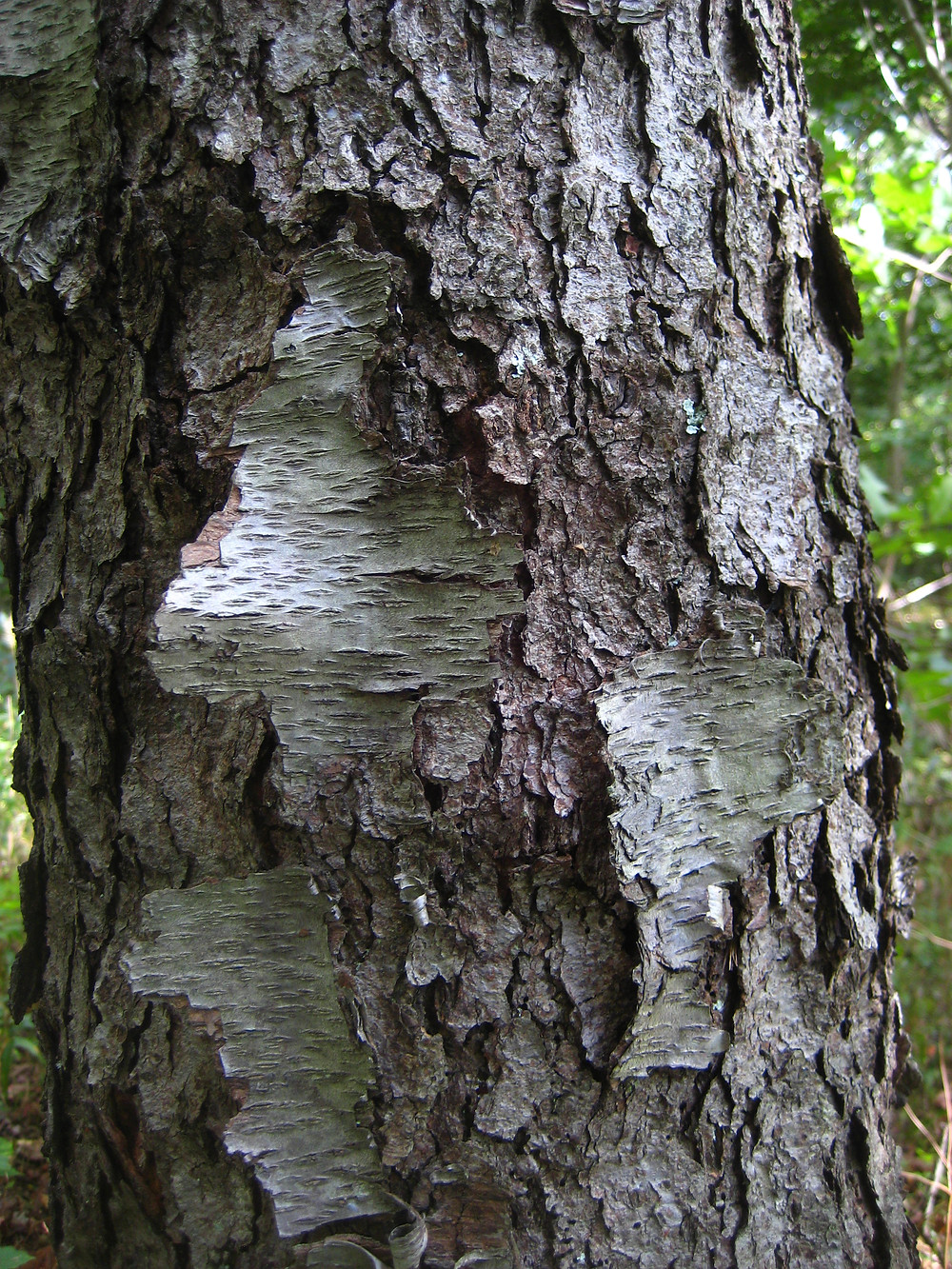 This specimen is shedding its young bark as it enters maturity.