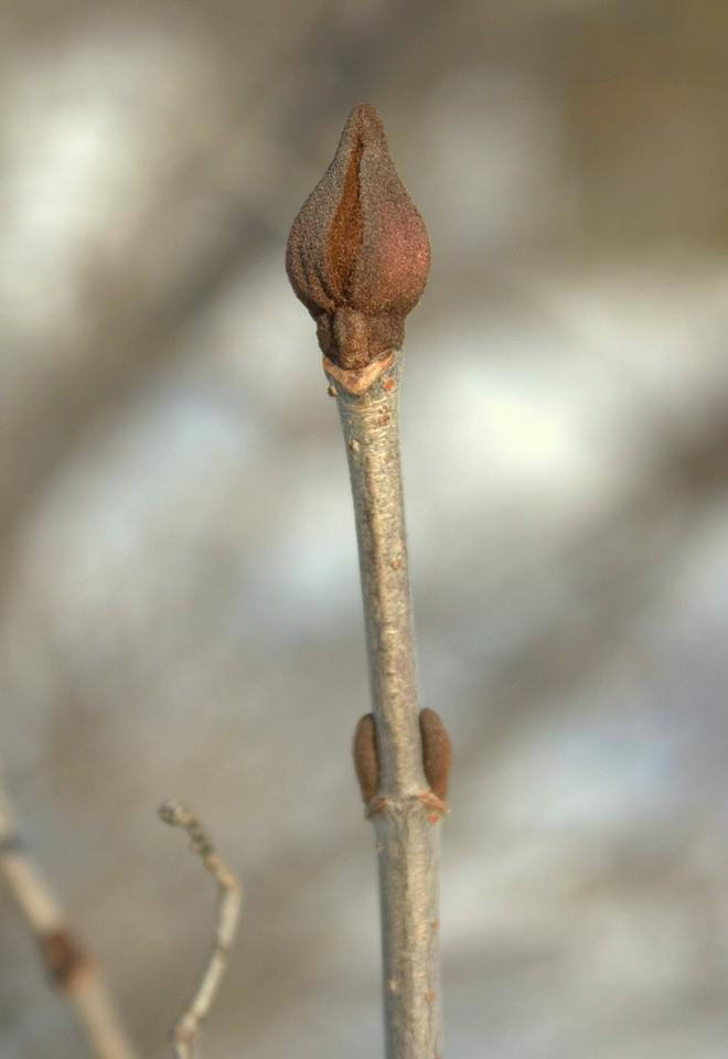 "Black haw twig, showing ""opposite"" bud placement, including swollen terminal flower bud"